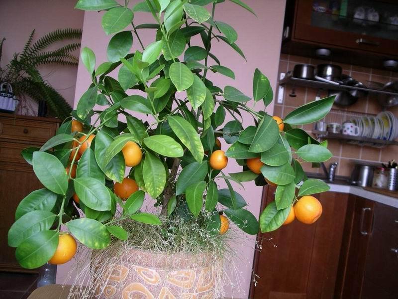 Когда прививают мандарины в домашних условиях 322