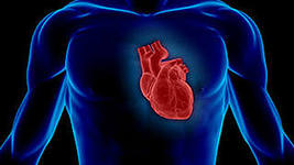 с какой стороны у человека сердце фото